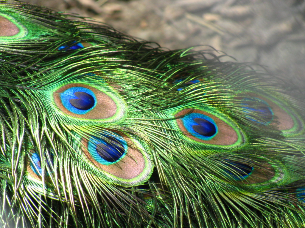 peacock feathers on divatalkradio